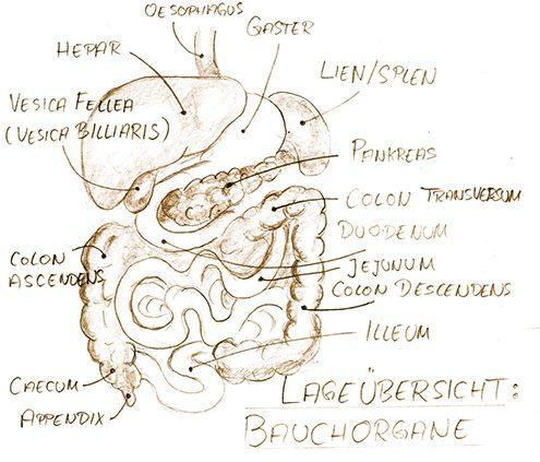 Eine Zeichnung von Bauchorganen