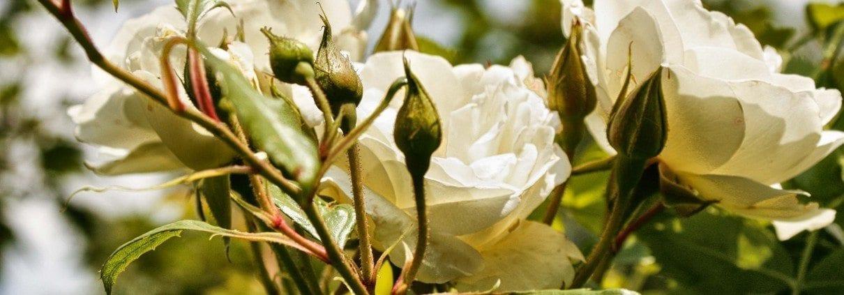 zeigt weiße blüten