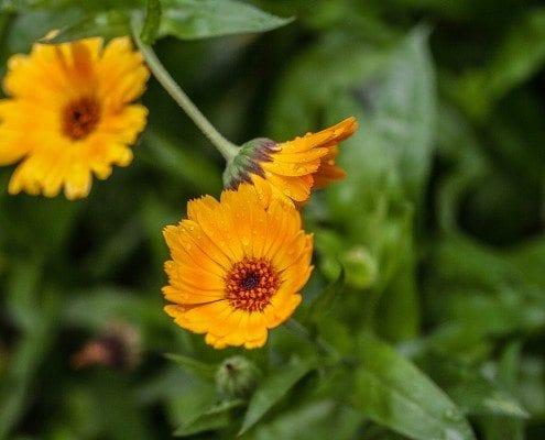 Blütenblätter einer Heilpflanze in Nahaufnahme