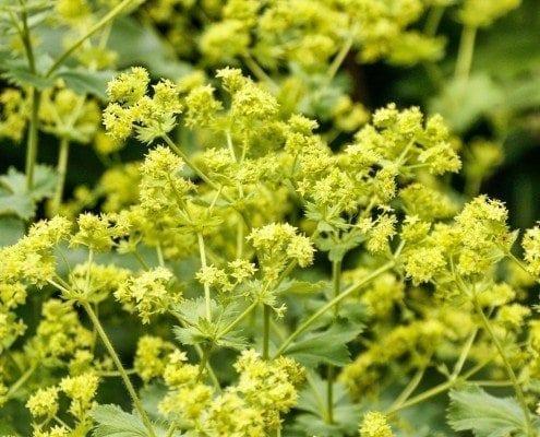 Ein Bild einer Heilpflanze