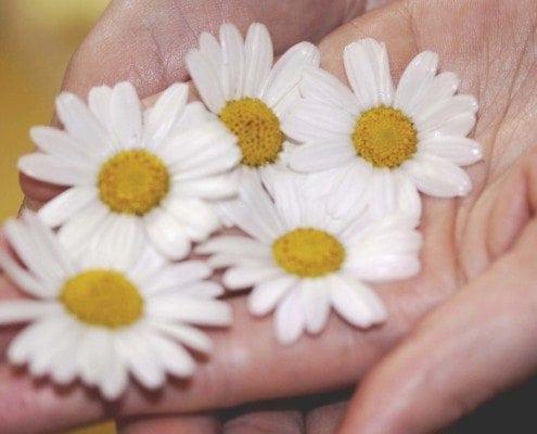 Gänseblümchenblüten werden von einer Hand gehalten