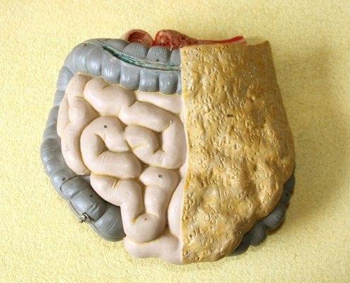 Ein medizinisches Modell des Darmtraktes