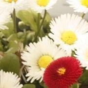 Heilpflanze 2017 Gänseblümchen