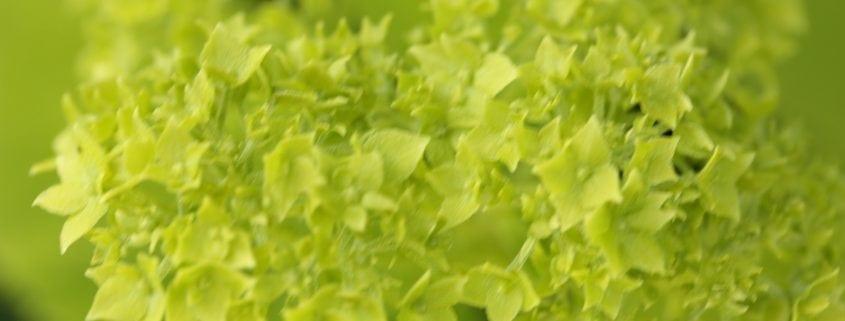 grüne Hortensie
