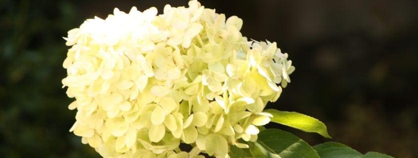 Rispenhortensie Blüte