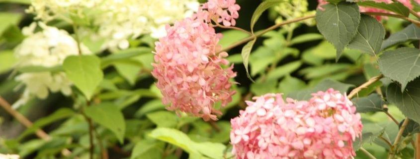 Pink Annabelle Hortensie
