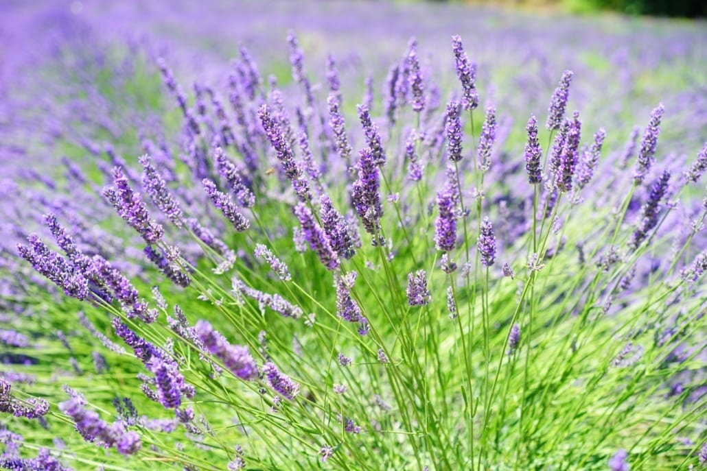 Lavendel Pflanze